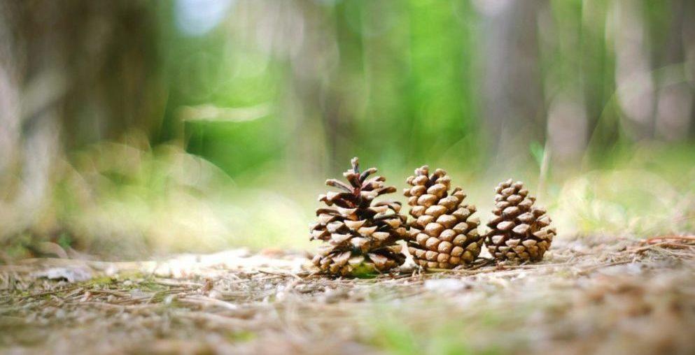 pine cones in spring feature scene