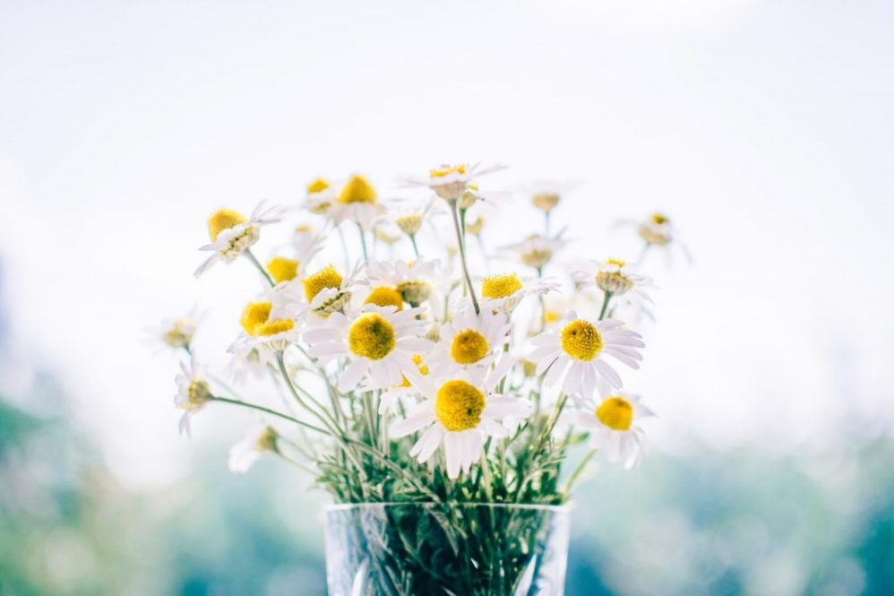white daisy flowers feature