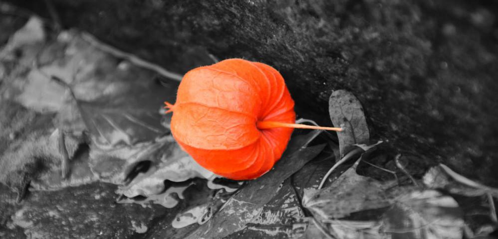 autumn flower orange black