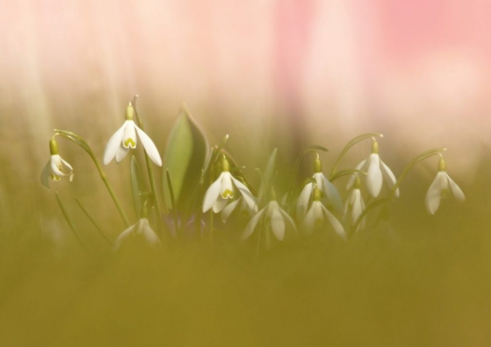 feature flowers snowdrops