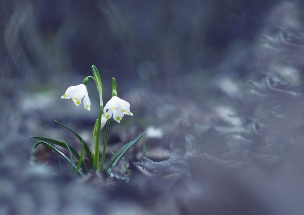 feature snow drop flowers