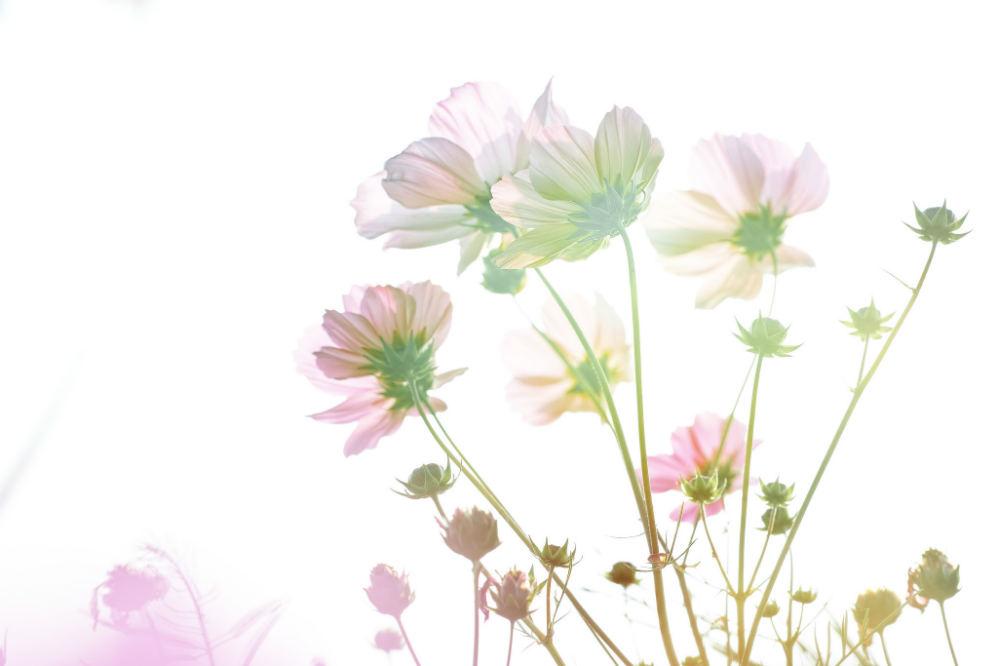 cosmos flowers w998
