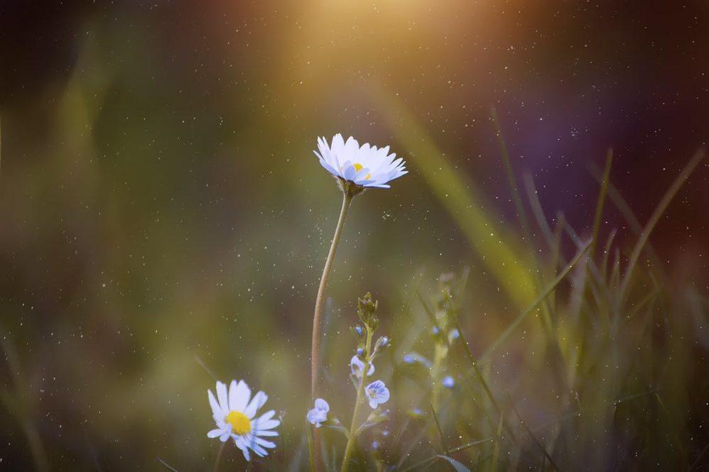 flower, daisy