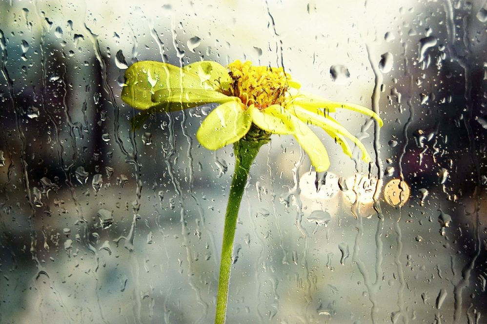 flower in the rain by pixabay
