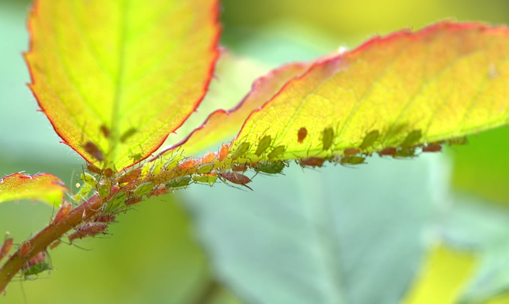 Aphids and Sin