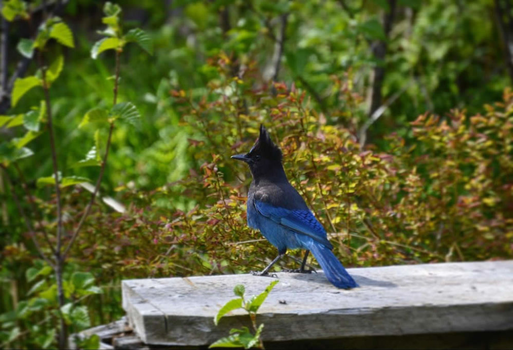 Blue Stellers Jay - raucous sound